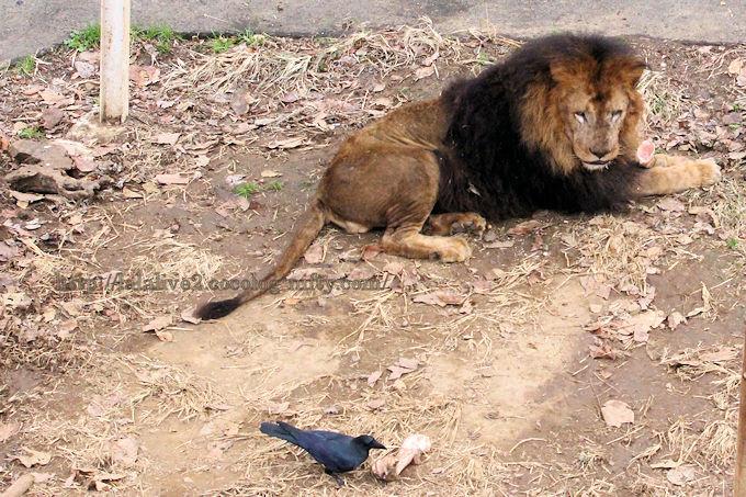 Lion2018123