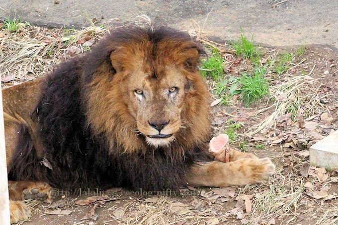 Lion2018124