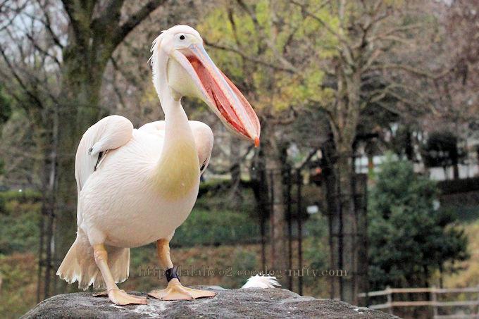Pelican2018122