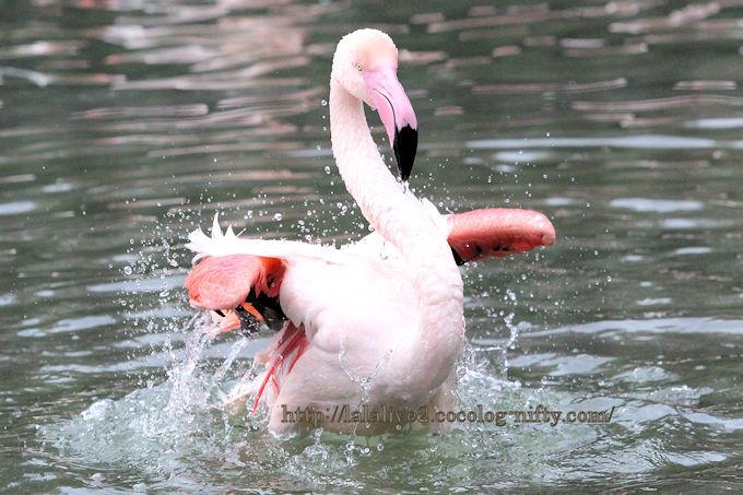 Flamingo201812