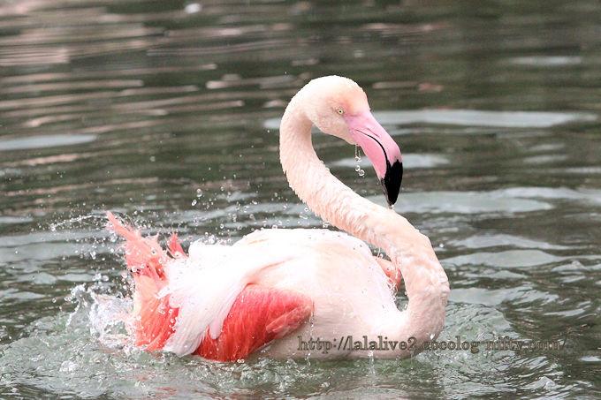Flamingo2018121