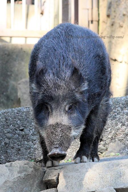Wild_boar201812
