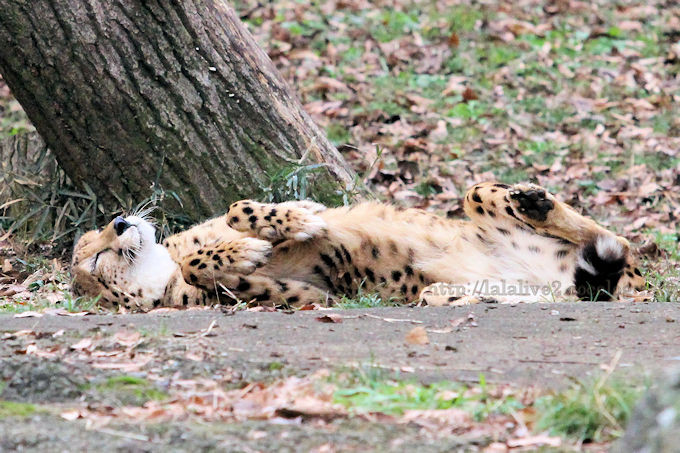 Cheetah2018121