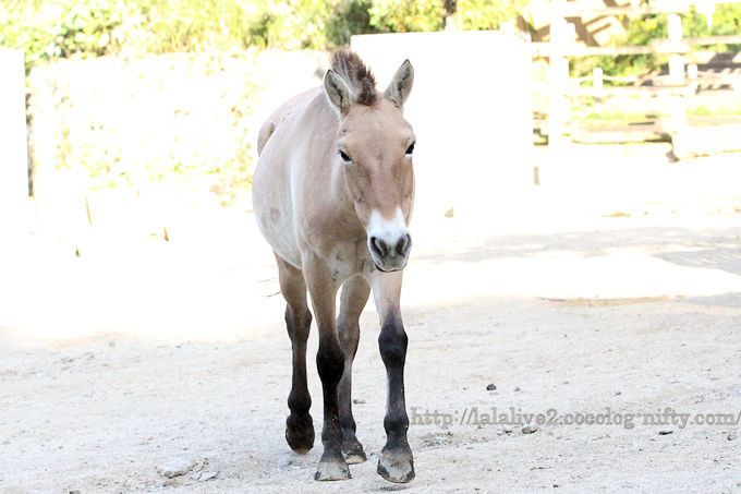Mongolian_horse201810