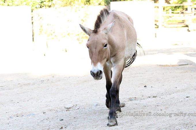 Mongolian_horse2018101
