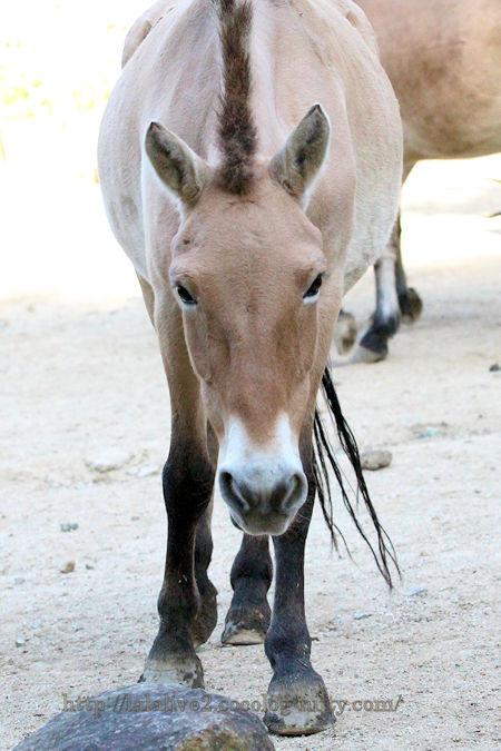 Mongolian_horse2018102_2