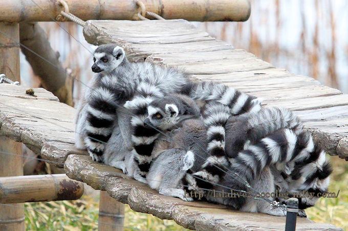 Ringtailed_lemur201902
