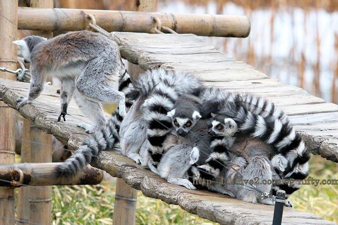 Ringtailed_lemur2019021