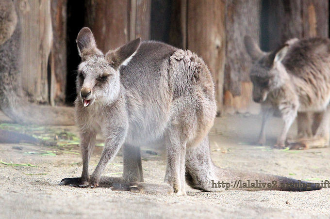 Eastern_grey_kangaroo201902