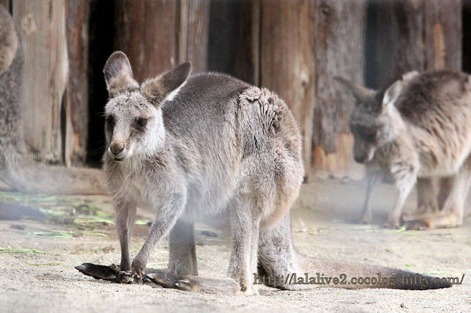 Eastern_grey_kangaroo2019021