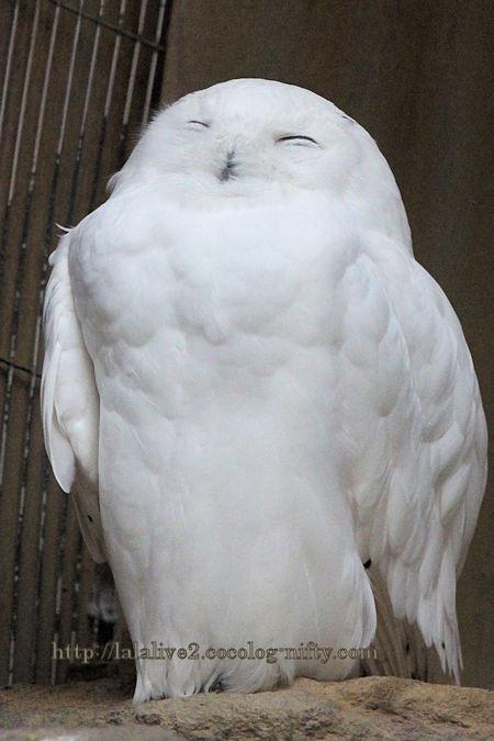 White_owl201902