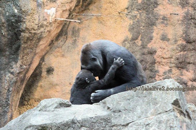 Gorilla2019021_2
