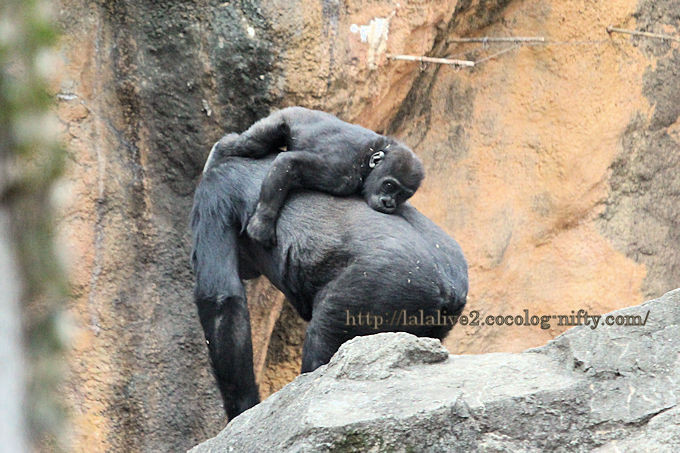 Gorilla2019022