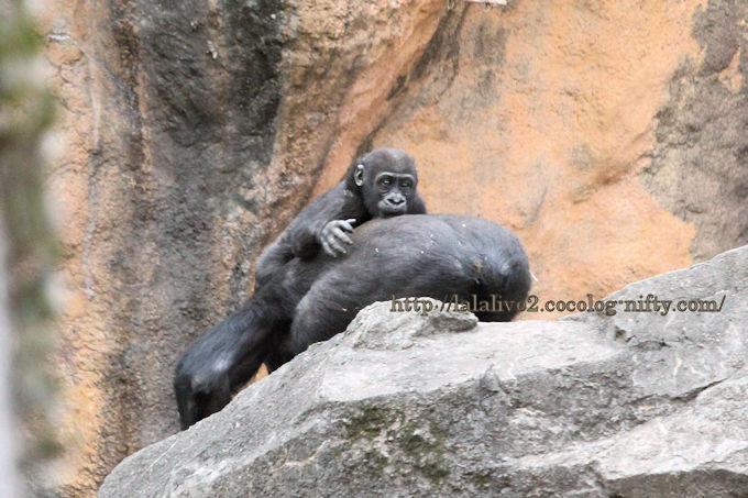 Gorilla2019023
