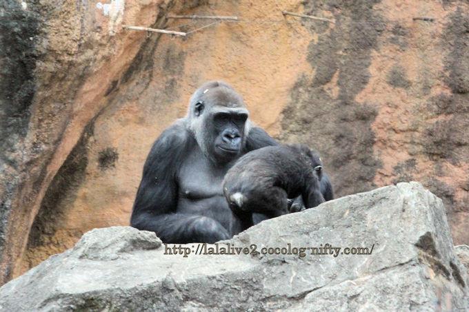 Gorilla2019024
