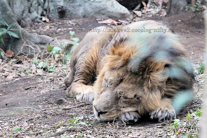 Lion2019021