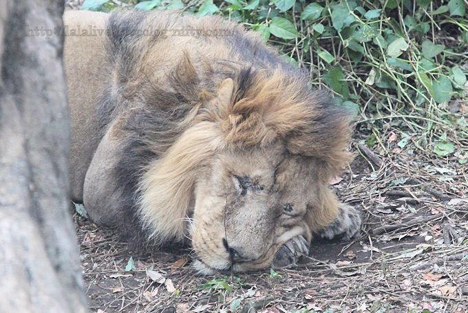 Lion2019022