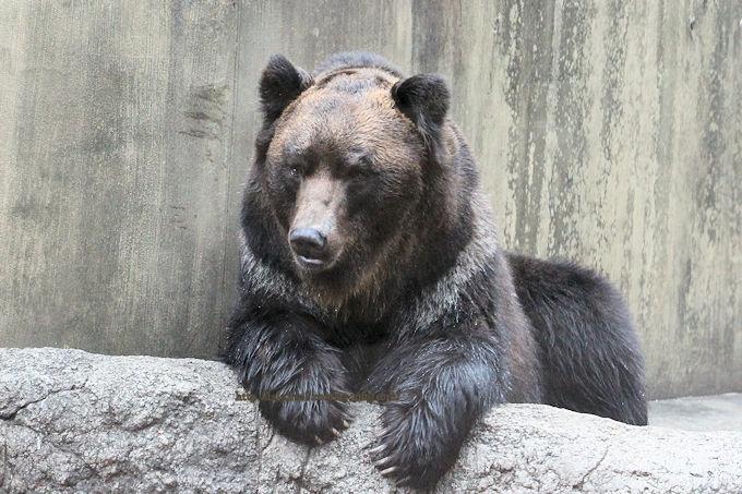Ezo-brown-bear2019024