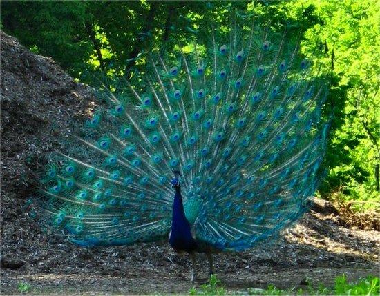 Peacock20070430_4