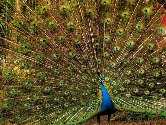 Peacock20070514
