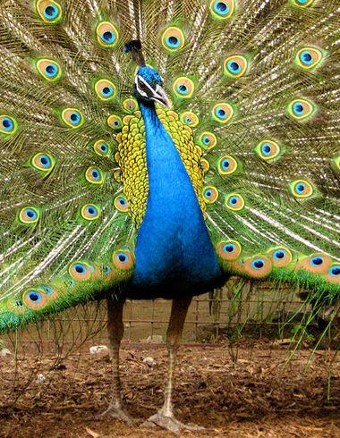 Peacock200705142