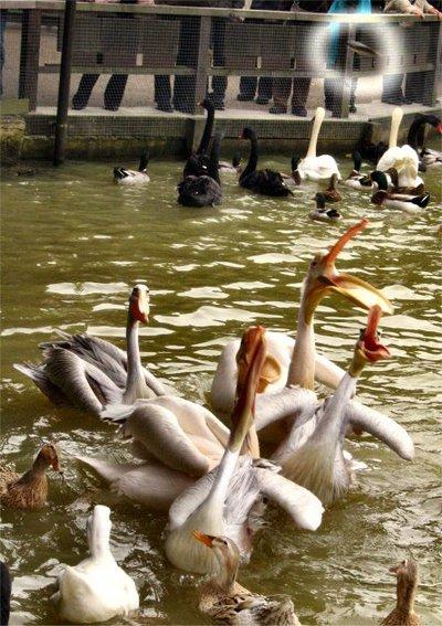 Pelican20070225