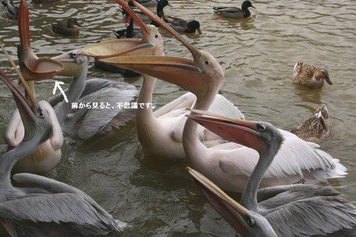 Pelican200702252_1
