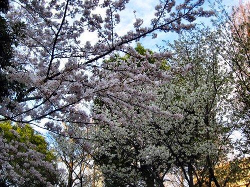 Sakura20070330