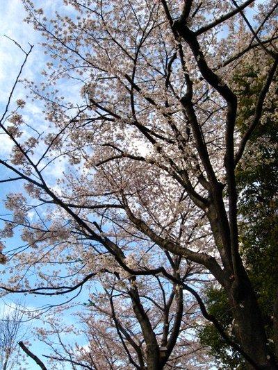 Sakura200703301
