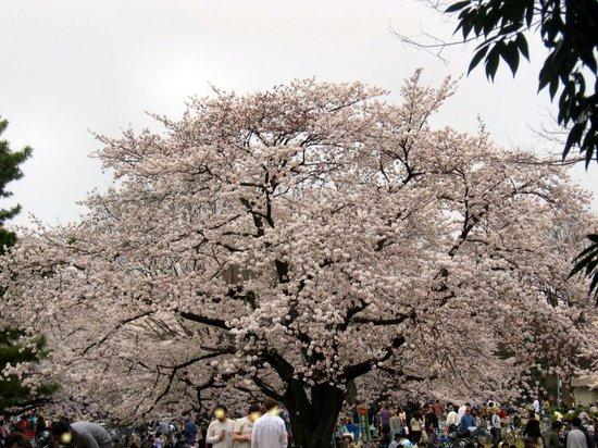 Sakura20070401