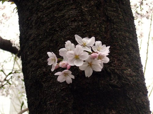 Sakura200704013