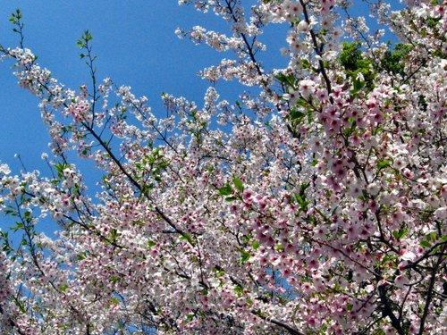 Sakura20070405