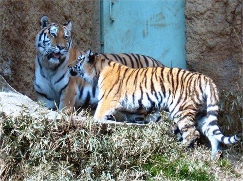 Tiger200702131