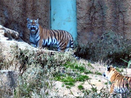 Tiger200702132