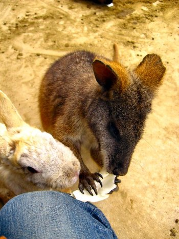 Wallaby200705141_1