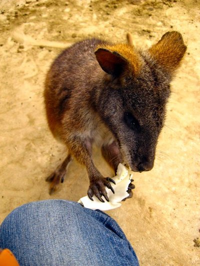 Wallaby20070514_1