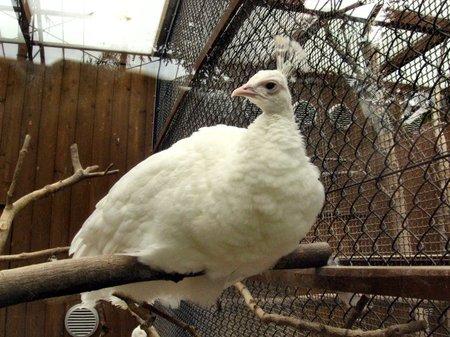 Whitepeacock20070225_1