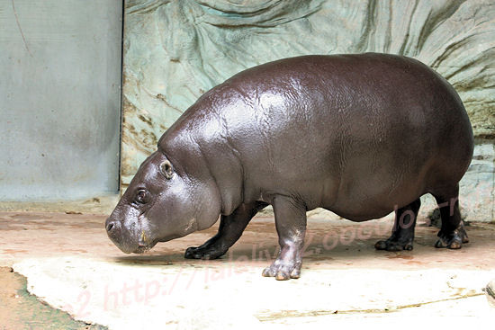 Pygmy_hippopotamus
